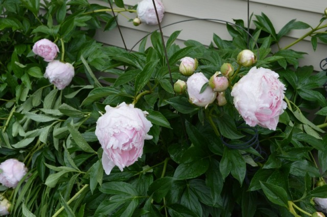peonies bush